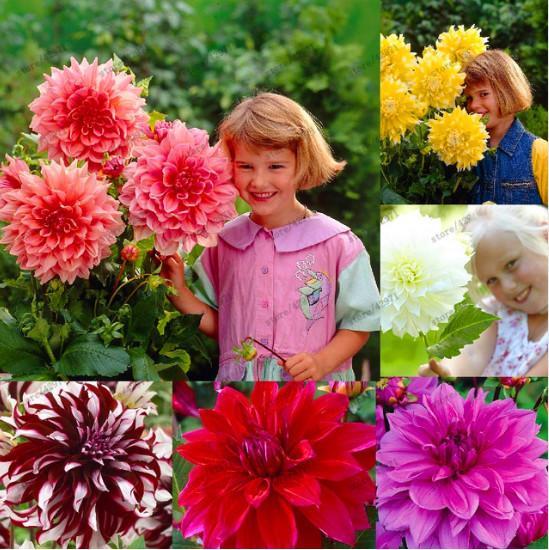 50 pcs Multicolor dahlia sementes, dália flor, bonsai flor para casa jardim planta pote Alta brotação fácil crescer