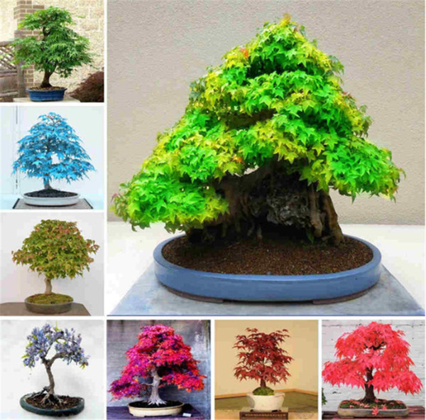 7 kinds Bonsai Tree Rare Maple Seeds Plants Pot Suit DIY Home Garden Mixed Color Japanese Maple Fresh The Air 20 Pcs
