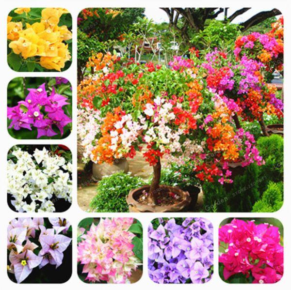 100 Pcs/Bag Mixed Bougainvillea Seeds Perennial Flower Colorful Bougainvillea Spectabilis Willd Seeds Garden Bonsai Pot Plants