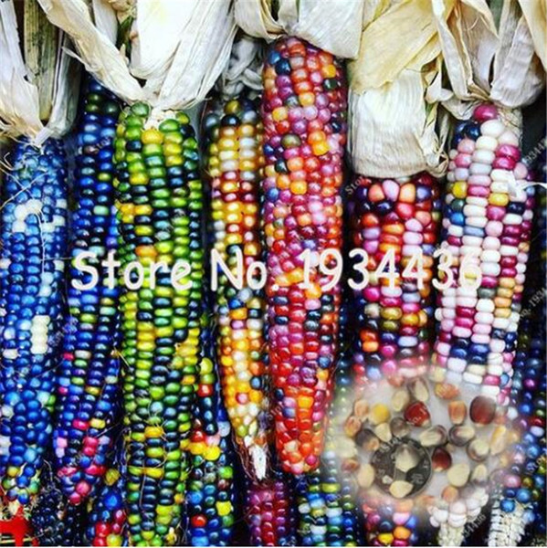 Rainbow Sweet Corn Seeds Vegetable Furit Organic Easy-growing High-Quality Seeds Vegetable for home garden 30 Pcs Free Shipping