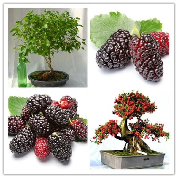 50pcs/bag black mulberry seeds,mulberry tree seeds,Organic Heirloom vegetable fruit seeds,sweet and heathy, for home garden
