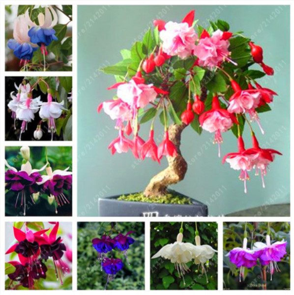 100 pcs / sac graines fuchsia, fleur fuchsia, bonsaï graines de fleurs suspendues, plante en pot Lanterne graines de bégonia pour la maison jardin