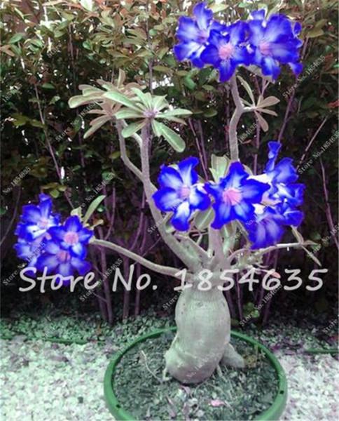 2 Stücke Wüstenrose Samen Balkon Bonsai Zierblumen Adenium Obesum Samen Absorption von Formaldehyd Blumensamen für Verkauf