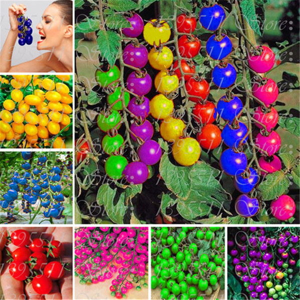 50 Pcs Colourful Cherry Tomato Seeds Balcony Rainbow Sweet Fruits and Vegetables Seeds Potted Bonsai Potted Plant Tomato Seeds Free Shipping