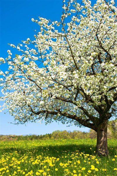 White Blossom Flower Tree Spring Photography Backdrops Blue Sky Yellow Floral Grass Floor Outdoor Scenic Photo Backgrounds for Studio
