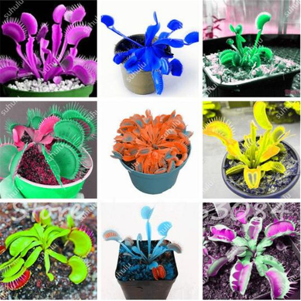top popular 10 Pcs Bag Insectivorous Plant Seeds Venus Flytrap Seeds, Mixed Color, Indoor Plant Seeds, DIY Plant Best Birthday Gift 2021