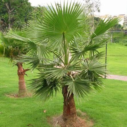 Sementes de palmeira planta ao ar livre Perene, ornamental tropical sementes de árvores 20 partículas / saco