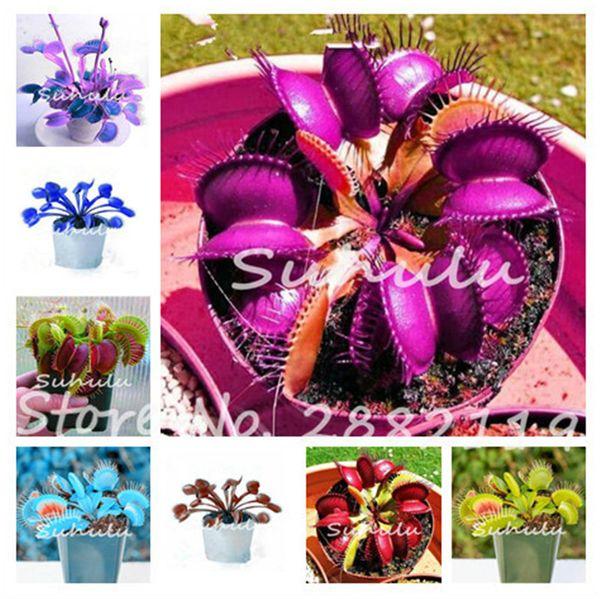 10 Pcs Azul Planta Insetívora Exóticas Semente Suculentas Dionaea Muscipula Bonsai Semente Venus Fly Armadilha Plantas Carnívoras Fácil Crescer