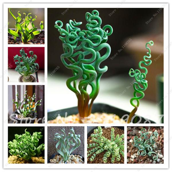 Nadir Bahar Çim Tohumları Succulents Grassplant Tohumları Diy Bonsai Saksı Bahçe Egzotik Spiral Çim Bonsai Bitki 200 Adet