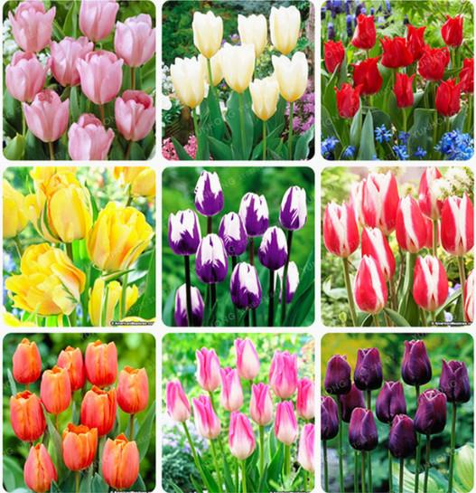 50 Stück Tulip Seeds Tulip Flower Schöne Tulipanes Blume Pflanze für Gartenpflanzen (nicht Tulip Bulbs) Blume symbolisiert Liebe