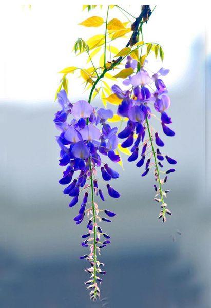 15 Particles / Bag Bonsai Plant Blue Wisteria Tree Seeds Indoor Ornamental Plants Seeds Wisteria Flower Seeds