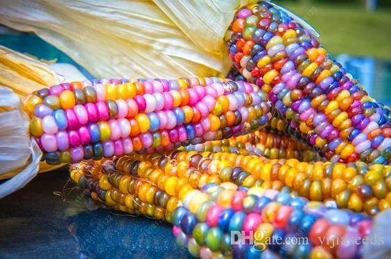 Mini Multi Colorido Sementes De Milho Novo 100 Qtd.