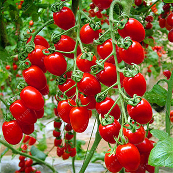 100pcs/bag cherry tomato seed. Rare Balcony Organic fruits vegetables seeds Bonsai Potted plant (red,yellow)Tomato seeds