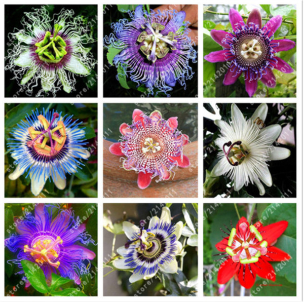 20 Pcs Granadilla Passiflora Seeds Passion Fruit (passion Flower) Bonsai Flower Seeds New Plants Fruit-tree-seeds For Garden