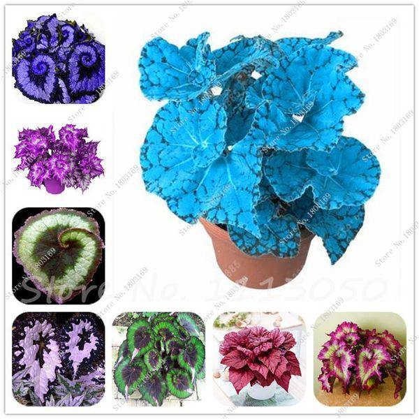 120 Teile / beutel Schöne Begonie, seltene begonie samen bonsai blumensamen blumen topf begonie pflanzen für garten balkon Coleus samen
