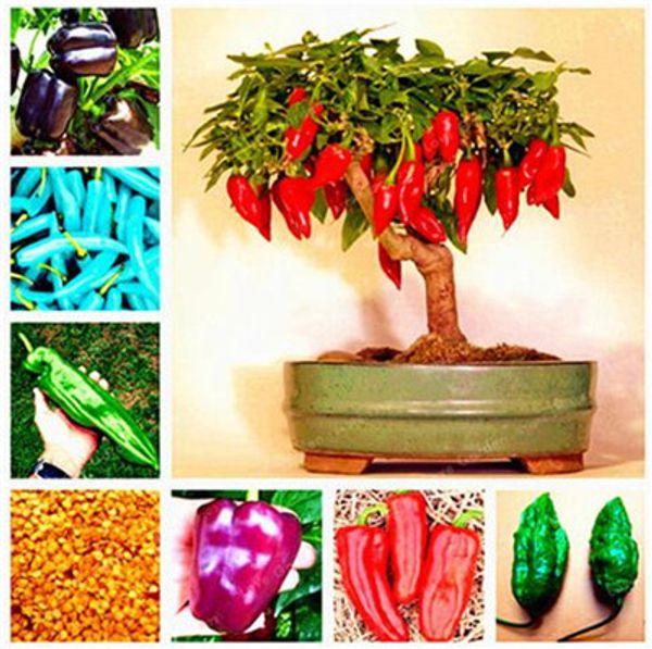 top popular Organic vegetable Seed 100 Pcs Chocolate Naga Jolokia Chilli Seeds, Ghost Pepper - Bhut Jolokia for home garden plant 2021