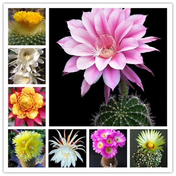 100 Stücke Exotic Cactus Seeds Japanische Seltene Sukkulenten Blume Sementes Bonsai Zimmerpflanzen Mehrjährige Blumen Garten