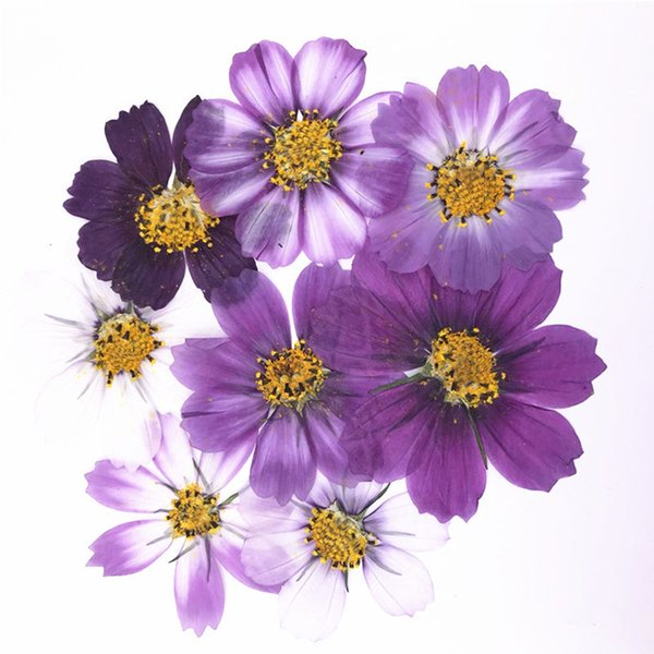 Variegated Cosmos decorative flowers Pressed flowers 2018 For Press Painting On Family Day Holidays free shipment 1 lot / 100 pcs Wholesales