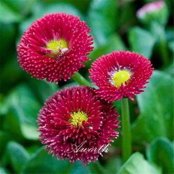 Red English Daisy Bellis Blumensamen Einfach wachsenden DIY Hausgarten Mehrjährige Blütenpflanze Hohe Keimrate Samen Gartenpflanzen