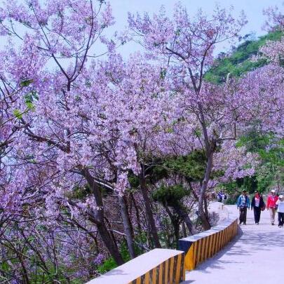 albero a crescita rapida Semi Paulownia, albero di imperatrice Fiore romantico 200 particelle / sacchetto