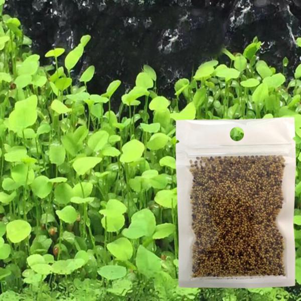 Plante Fish Tank Décoration eau Grass Mini Feuille Live Paysage Ornement Aquarium Glossostigma Hemianthus Callitrichoides Graines