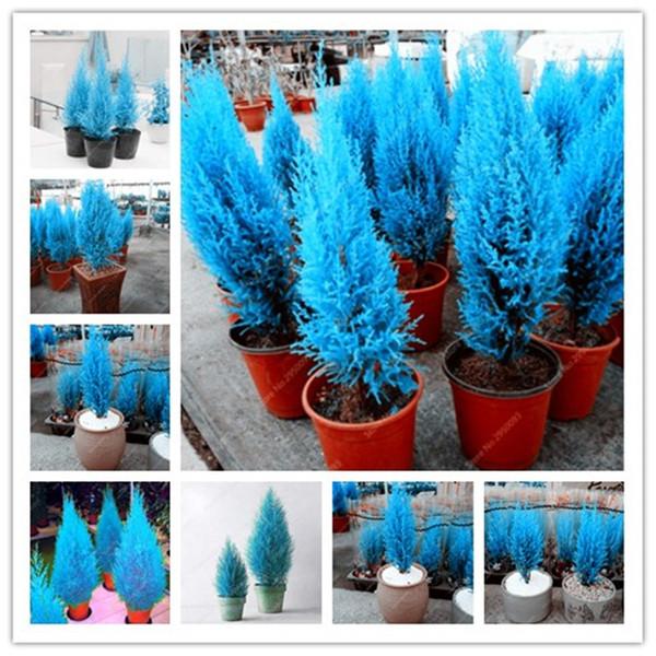 Exotische italienische blaue Zypresse Baum Samen 20 Stück Indoor Outdoor Schreibtisch Zierpflanzen, seltene Weihnachtsbaum mehrjährige Blumentöpfe Pflanzgefäße