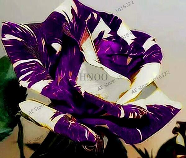 100 pz / borsa semi di rosa tigre a strisce rosa rare bonsai semi di fiori arcobaleno verde blu nero petali di rosa pianta per la casa giardino