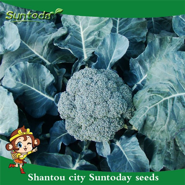 Suntoday Chinese GREEN BROCCOLI Brassica Oleracea Vegetable Seeds Asian Garden Plant Heirloom Non-GMO Hybrid Organic Fresh Seeds