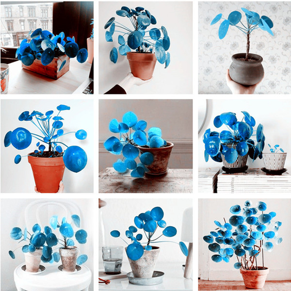 100 Pcs Rare Blue Mirror Grass Flower Seeds Succulents Plant Grass Seeds DIY Bonsai Potted Garden Home Exotic Plant Interesting