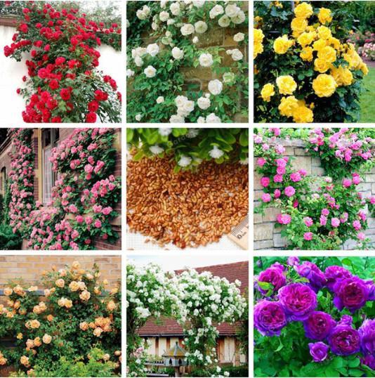 100 Pcs Rose Seeds Mix Climbing Plant Perennial Rose Flower DIY Home Garden Courtyard Pot Flower Climbing Roses