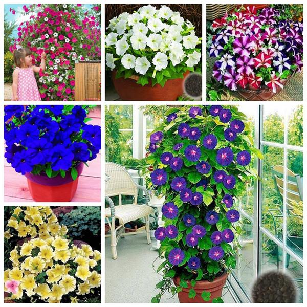 Exotische Seltene Klettern Winde Samen Gemischt Petuniya Petunia Blume So Duftend Outdoor Pflanze Für Hausgarten 100 Stücke