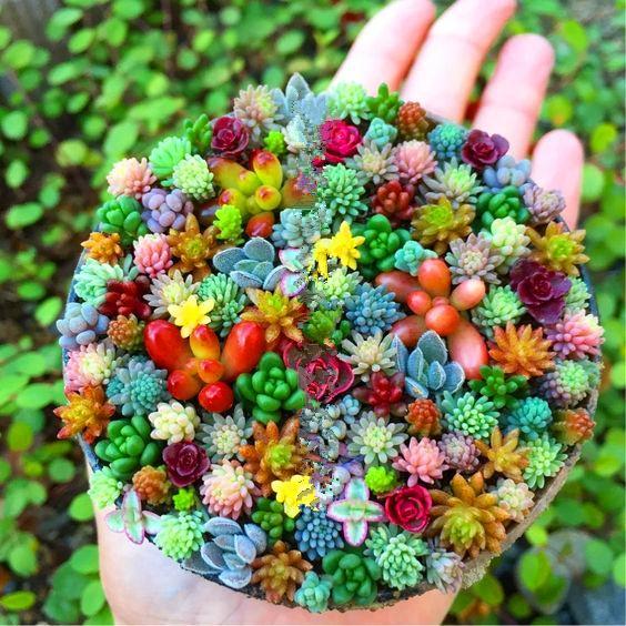 30 pz / borsa Real mini succulente semi di cactus rare succulente piante erbacee perenni bonsai vaso di fiori semi di piante al coperto per la casa