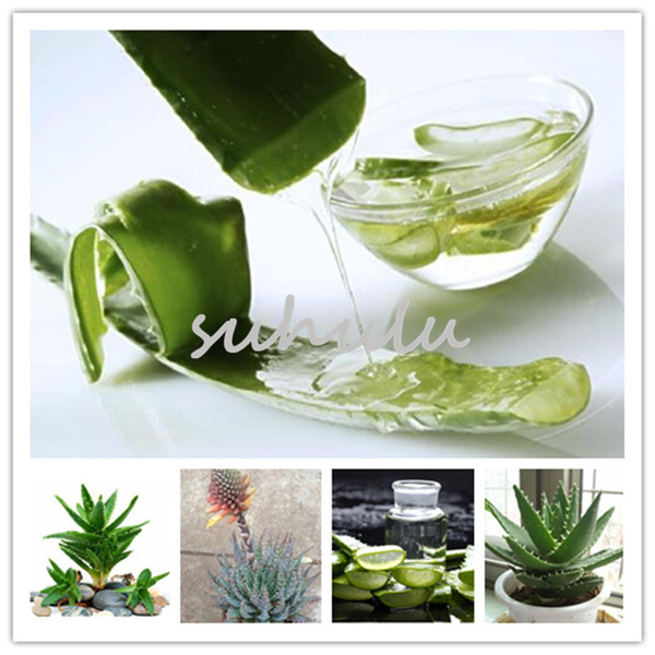100 Pcs /Bag, Office Desktop Flowers, Succulents, Anti-Radiation Computer,Rare Herbs Aloe Vera Queen Seeds, Potted Plants Purify The Air