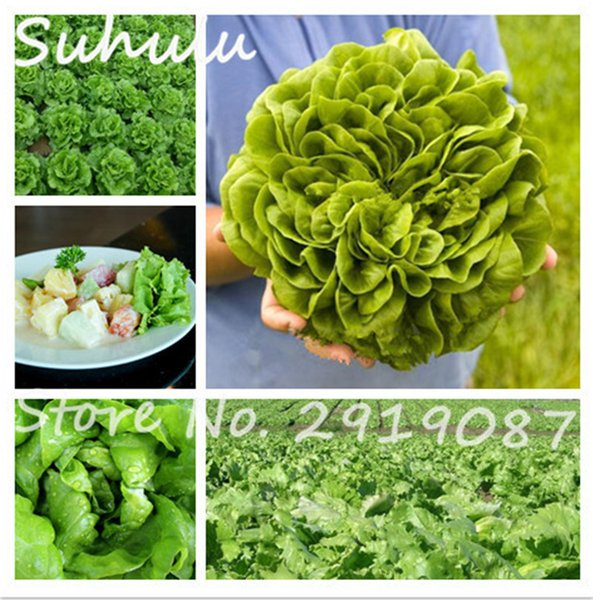 100 pcs rare Italian lettuce seeds organic edible delicious great salad choice good taste diy Home vegetable plant free shipping
