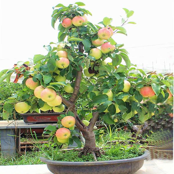 30 шт. / пакетики яблоня семена карлик бонсай яблоня мини фруктовые семена для дома