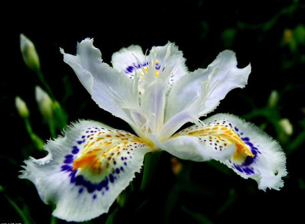 2017 heiße Blumen Samen Japanische Iris Japonica Samen 30 STÜCKE Weiße Iris Orchidee Seltene Exotische Blume Einfach zu pflanzen Garten Home Bonsai