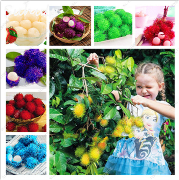 10 Pcs Rambutan Seeds Red Fruits Malaysia Miracle Fruit Seeds Plant Giant Plant Tree New Outdoor Vegetable Fruit Jardin Pots Rare Funny Gift