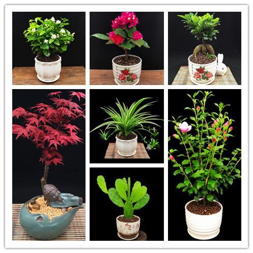 12 çeşit Botanik karışık tohum 360 ADET nadir bonsai Botanik çiçek tohumları tam renkli bitki saksı Yasemin Ormangülü Bir grup akçaağaç tohumları