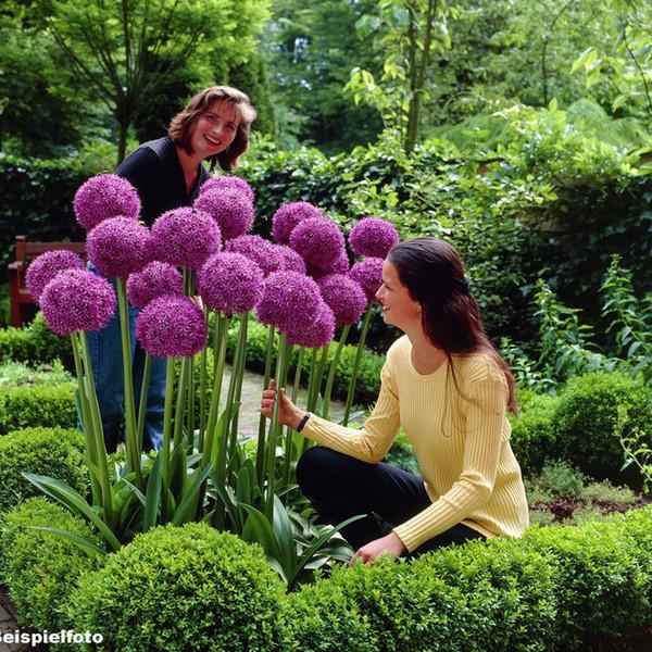 30 adet mor Dev Allium Giganteum Güzel Çiçek Tohumları Bahçe Bitki için nadir bahçe çiçek tohumları saksı yetiştiricilerinin J00