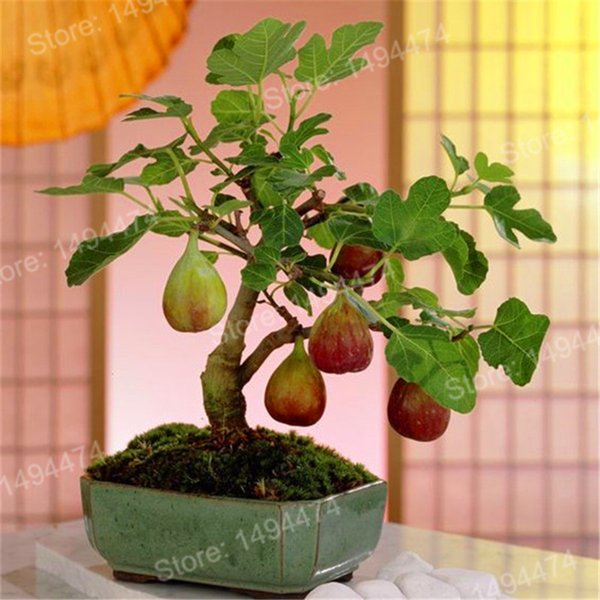 100pcs semi di fichi tropicali rare mini fico semi di piante bonsai semi di frutta rari per la piantagione di casa germinazione