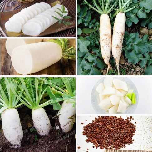 Semi di ravanello cinese coltivati sul seme di verdure biologiche di famiglia ravanello bianco per piante da giardino casa 30 semi / sacchetto