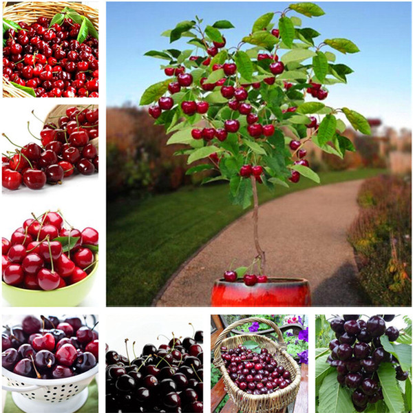 30 pcs/bag cherry bonsai fruit seeds Sweet Sylvia Upright Cherry Self-fertile Dwarf Tree seeds plant pot home garden