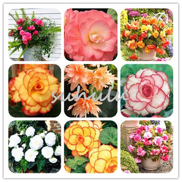 100 Pcs / lot Importé Begonia 'Géant Picotee Mixte' Graines Fleur Graines Quatre Saisons Begonia Bonsaï Plante Maison Jardin Livraison Gratuite