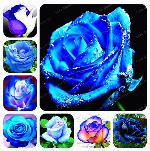 Nadir Mavi Gül Çiçek Tohumları Çok Yıllık Bitki Çiçek Güzel Bonsai Bitki DIY Ev Bahçe Bitkileri 100 Adet