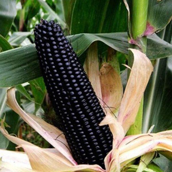 Schwarz Mais Samen, Getreide hochwertige Gemüse Mais Samen 15 Partikel / Beutel
