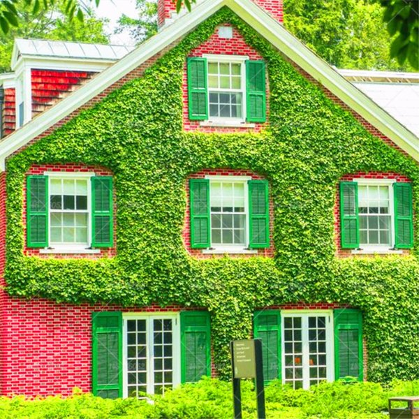30pcs/bag Boston Ivy seeds outdoor creepers Bonsai plants flower seeds grass seeds Air Purification garden decoration plant