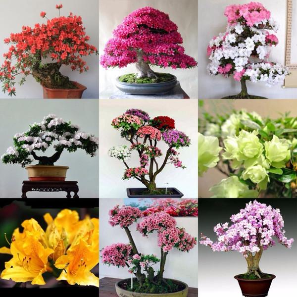 100 Teile / beutel Seltene Bonsai 12 Sorten Azalee Samen Diy Hausgarten Pflanzen Sieht Aus Wie Sakura Japanischen Kirschblüten Blumensamen