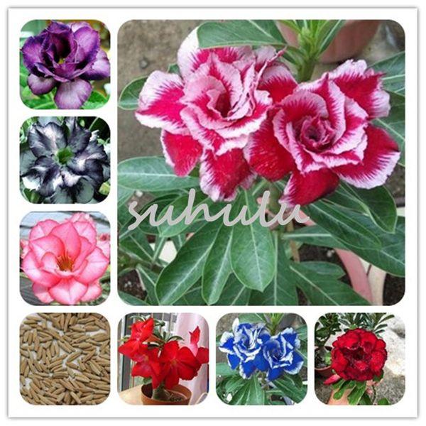 Nuovo! Rare misto semi di rose del deserto reale thailandia adenium semi di obesum piante ornamentali balcone pianta in vaso mini albero gigante fiore 2 pz