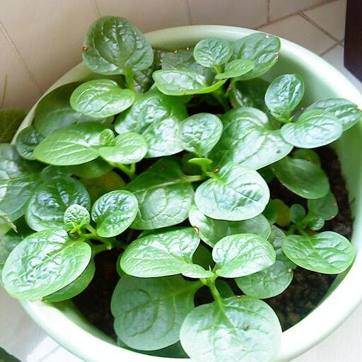 Malabar Spinach Seeds, Buffalo Spinach Leaf Vegetable Seeds, Garden Ceylon Spinach Seeds 30 particles/bag