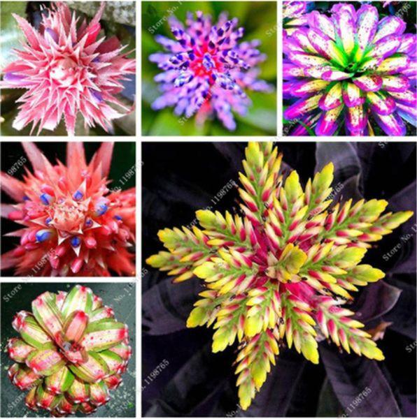 100 Pcs Rare Bromeliad Seeds Vegetable and Fruit Garden Succulent Plants Mini Cactus Pots Cheap Bonsai Balcony Flower Seed